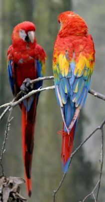 Scarlet macaw, photo by Cburnett via wikipedia
